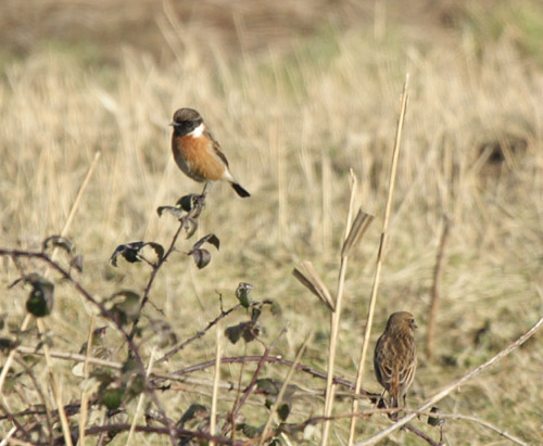 Handsome male Stonechat and his mate in front of the hide