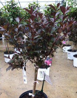Small Of Wine And Roses Weigela