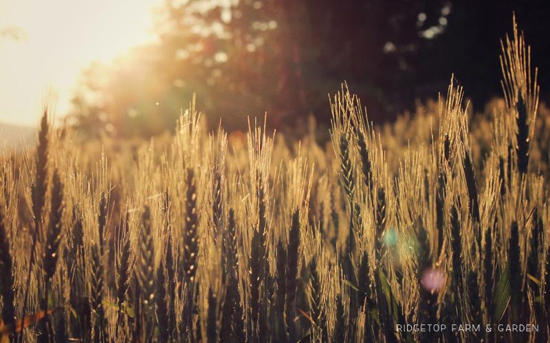 Summer Wheat Slide