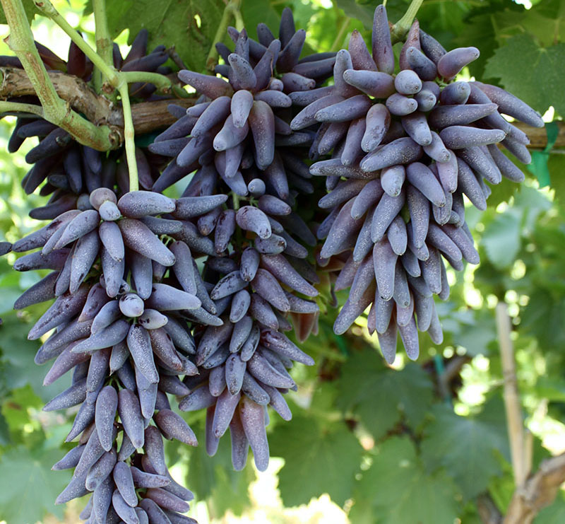 Witch Fingers on Grape Vine Ripleys Blog Smaller