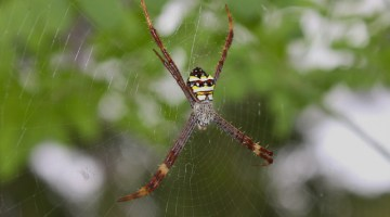 Spider Wrestling