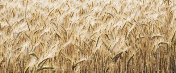 Close-up of wheat in field