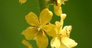 الفوائد الطبية لنبتة الغافث