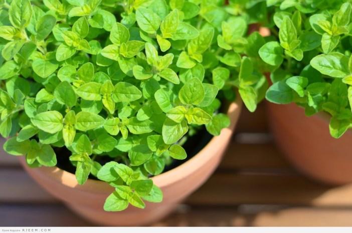 البردقوش للتخسيس - اهمية نبات البردقوش لخسارة الوزن