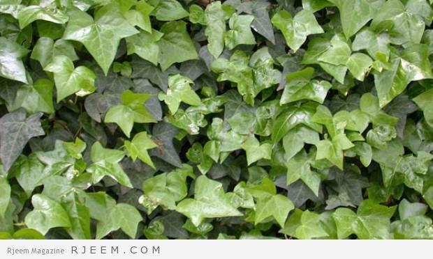 6 فوائد لعشبة اللبلاب