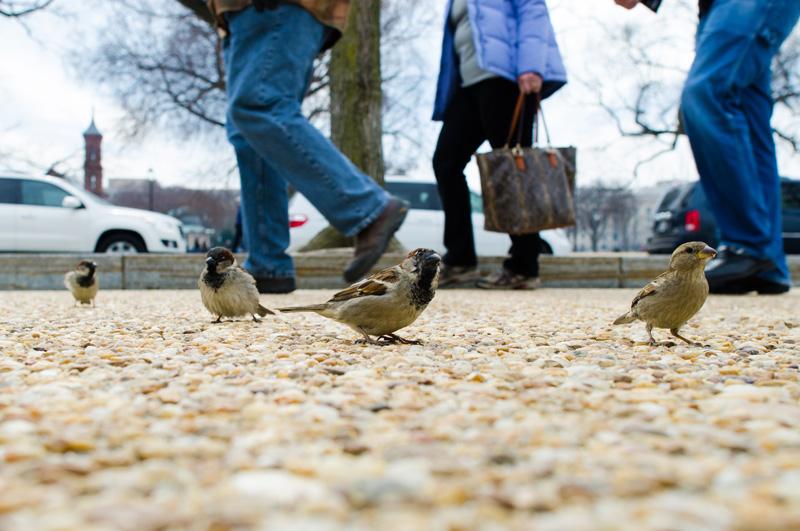 tourist sparrow bird sidewalk etiquette washington dc smithsonian national museum natural history