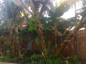 Bananas Do Indeed Grow on Trees