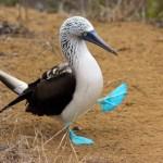 Isla de la Plata – poor man's Galapagos