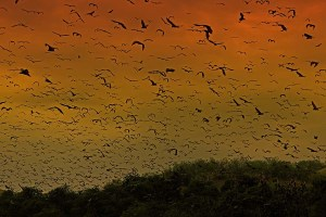Kalong Island fruit bat colony setting out at sunset