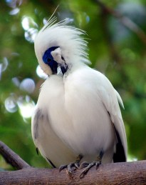 The highly endangered Bali Starling