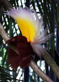 Greater Bird of Paradise, Yapen Island mascot