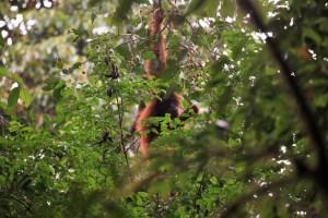 Gunung Leuser orangutan, Sumatra, Indonesia
