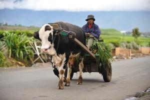 Bullock cart near Sangir, Kerinci