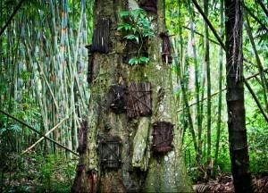 Kambira baby grave tree in Tana Toraja, Sulawesi