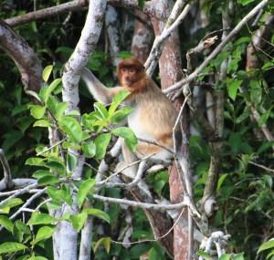 Proboscis monkey in Kutai National Park, Kalimantan