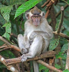 Long tailed macaque at Monkey Island near Banjarmasin, Kalimantan