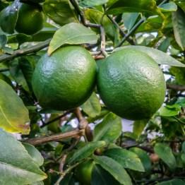 Lime, Watson Bay