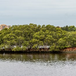 Floating forest, Homebush Bay