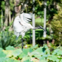 Ibis, The Royal Botanic Garden