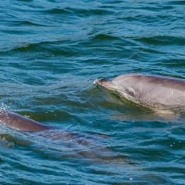 Bottlenose dolphin, Port Stephens