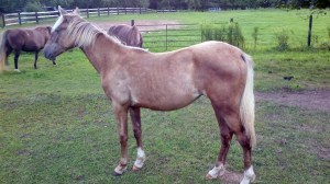Mocha is a purebred gaited Kentucky Mountain filly.  Her price is $1400.  Payment plans are accepted.