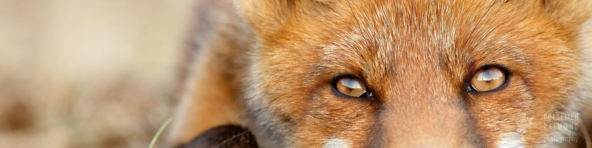 young_red_-fox