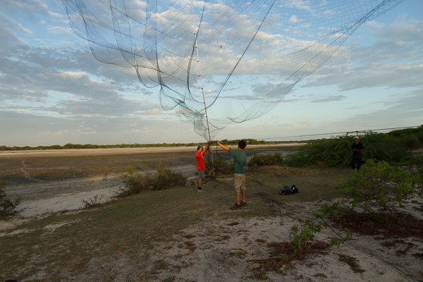 Final day in the field setting up the mist net in Mannar. The high winds snapped one of the poles shortly after this photo was taken. Credit: Deirdre Leowinata