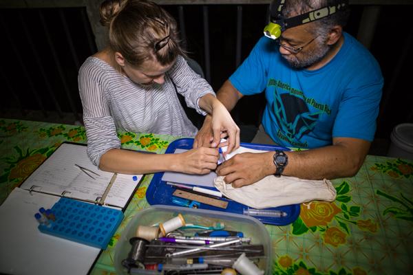 Dr. Burton Lim & Dr. Signe Brinklov collecting wing punches for DNA sampling. Credit: Vincent Luk