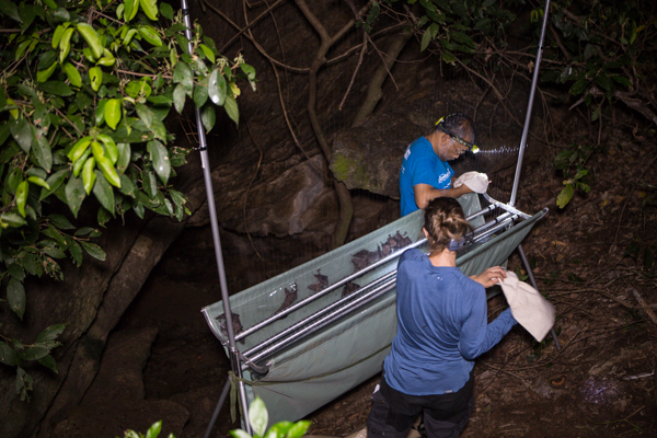 Dr. Burton Lim and Dr. Signe Brinklov identifying and releasing bats caught in a harp trap at Wavulgalge Cave. Credit: Vincent Luk