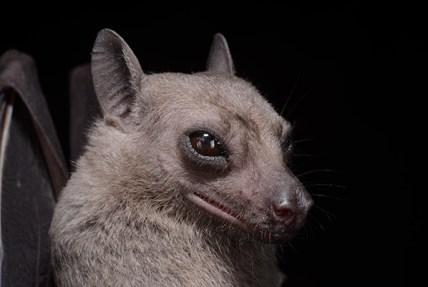 Photo portrait of the Egyptian Fruit Bat (Rousettus aegyptiacus), possibly a new record for Sri Lanka. Credit: Burton Lim