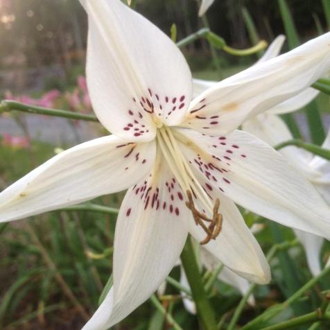"White day lilies with violet ""freckles"" in Rosslyn's breakfast room garden."