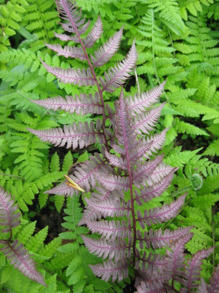 Large Of Silver Lace Fern