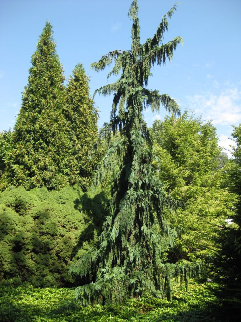 Pretty Watched Se Three Specimens Over Last Years Atmichigan University Weeping Alaskan Cedar Rotary Botanical Gardens Weeping Alaskan Cedar Turning Brown Weeping Alaskan Cedar Tree houzz-03 Weeping Alaskan Cedar