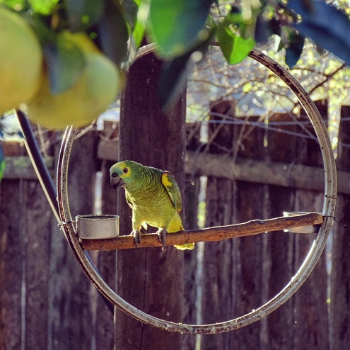 This parrot also lives by the wheel