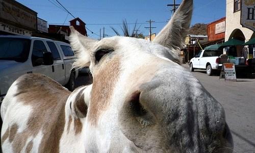 No, nobody's going to hunt Oatman burros