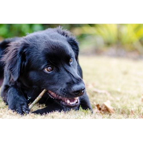 Medium Crop Of Strongest Dog Breed