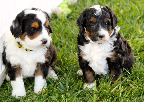 Medium Of Dog Breed Identification Quiz