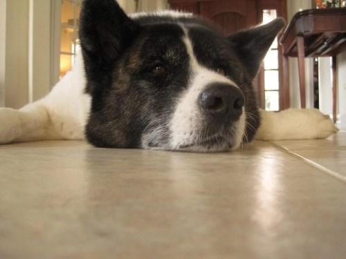 Medium Of Calmest Dog Breeds
