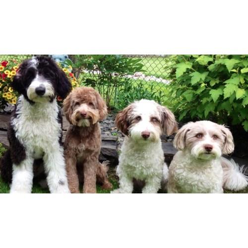 Medium Crop Of Low Maintenance Dog Breeds