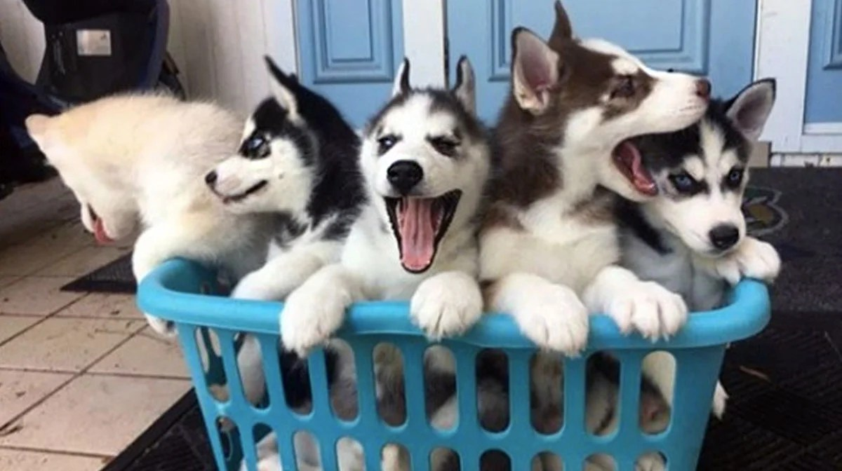 Cosmopolitan Sale Video Dogpeople By Mama Husky Gives Her Puppies Singing Lessons Video Corgi Husky Puppies Price Corgi Husky Puppies Mama Husky Gives Her Puppies Singing Lessons bark post Corgi Husky Puppies