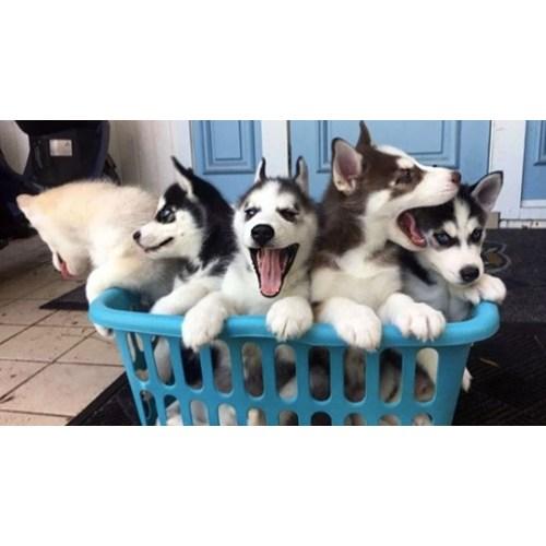 Medium Crop Of Corgi Husky Puppies