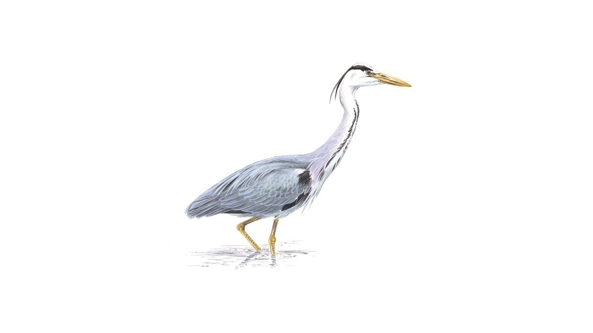 Grey Heron Bird Facts   Ardea Cinerea   The RSPB