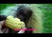 Teddy the Porcupine Loves Corn