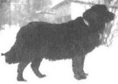 russian_newfoundland the extinct dog