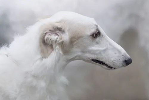 borzoi dog head