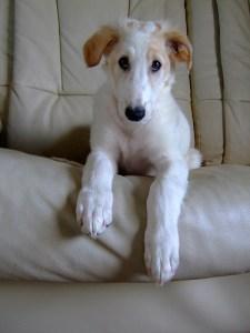 borzoi_puppy