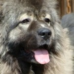 Caucasian Shepherd, the Russian Bear Dog