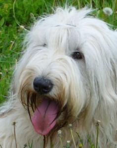 white russian dog 237x300 White Russian Dog