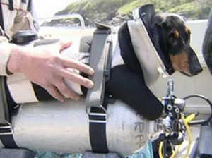 diving dachshund 300x224 Scuba Diving Dog