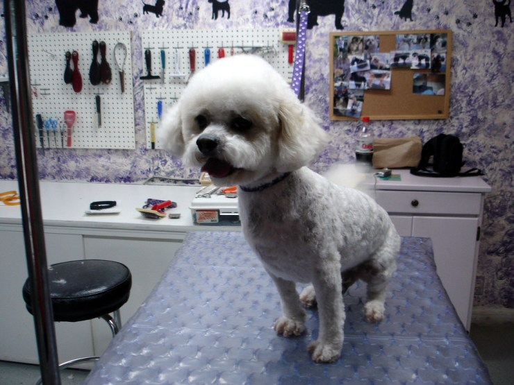 bichon groom photo